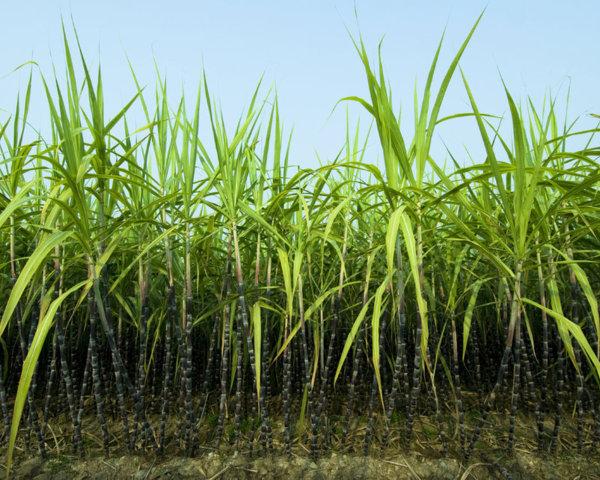 Специально для производства биотоплива создан сахарный тростник