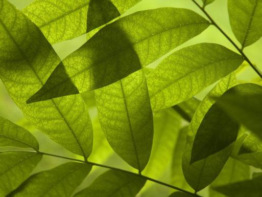 Ученые из Швеции смогли получить электроэнергию с помощью тени от листьев дерева
